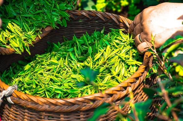Grüner Tee Ernte