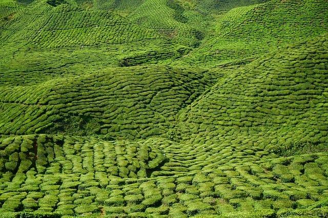 Grüner Tee Feld